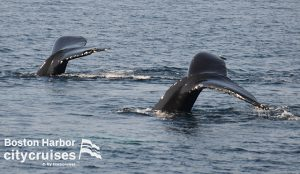 Two whale tails diving under water.