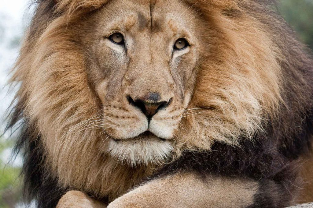 Closeup of lion's face