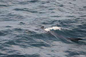 Whale Watch: Blue Shark