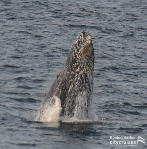 Whale Watch: Whale nose coming out of water