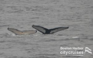 Whale Watch: two whale flukes