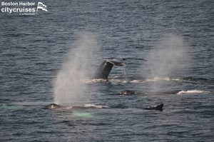 Whale Watch: Blow holes and whale backs in a pack