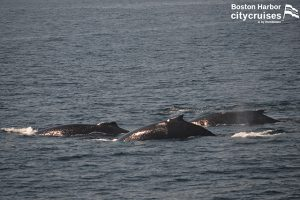 Whale Watch: three humpback whales