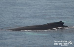 Whale Watch : Whale back at the surface