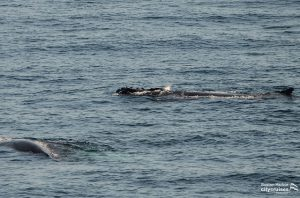 Whales at surface of water.