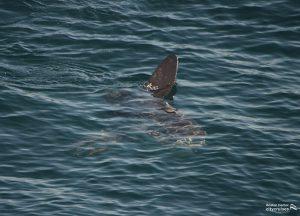 A Mola Mola (Ocean Sunfish) at the surface.