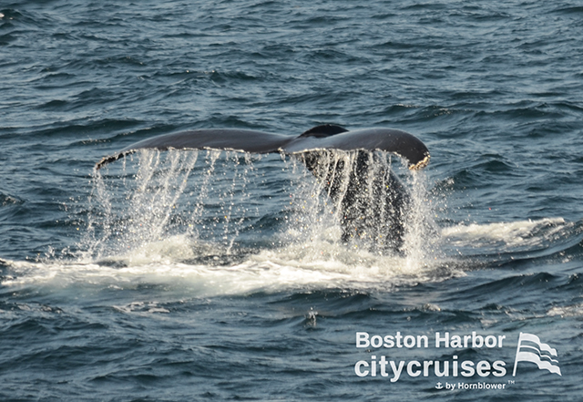 Whale tail with water streaming off before diving below surface..