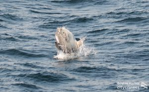 A Mola Mola (Ocean Sunfish) breaching the surface.