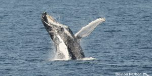 Whale Watch: Breaching