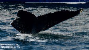Whale Watch: Whale fluke