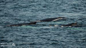 Whale Watch: Humpbacks
