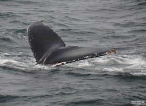 Wale Watch: Fluke Dive