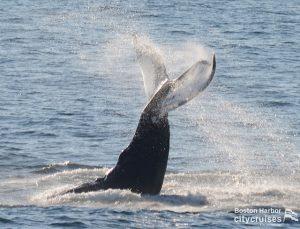 Whale Watch: Crown Lobtail