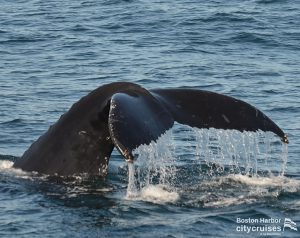 Whale tail before is descends underwater.