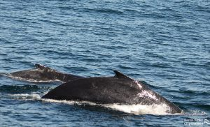 Whales back as it surfaces.