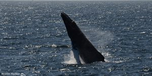 Whale breaching the surface of the water.