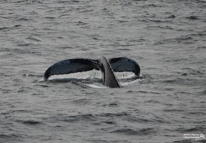 A whale tail before descending.