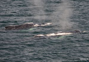 Two whales swimming side by side.