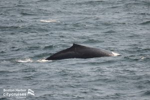 Whales back as surfacing.