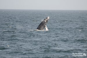 A whale breaching the waters surface.