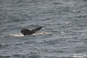 Whale diving with tail visible.