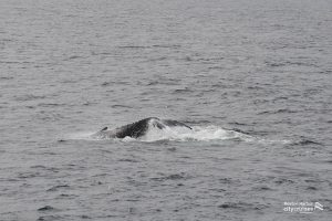 Whale diving water streaming from tail.