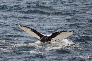 White underside of whales tail descending.