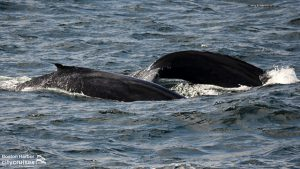 Whale Watch Dross and Calf