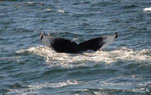 Whale Watch: Dross FK