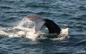 Whale Watch: Dross FK Dive