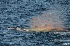 Whale Watch Dross Rainblow