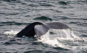 Whale Watch Dross Beautiful Fluking Drive