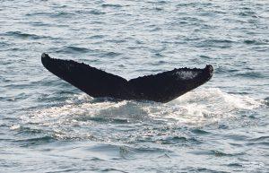 Whale Watch Bounce Fluke