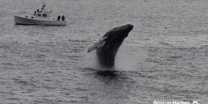 Whale Watch Dross 21 Calf Breach
