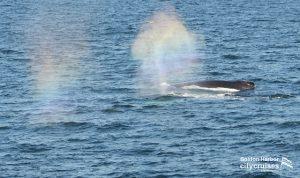 Whale Watch Rainbow Blow