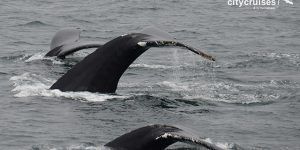 Three whale tails as they descend under the waters surface.